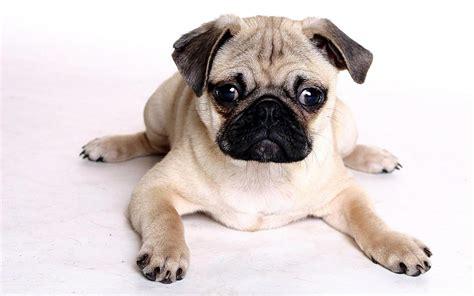 perros pug fotos de perros de la raza pug para fondo de pantalla imagenes de perros