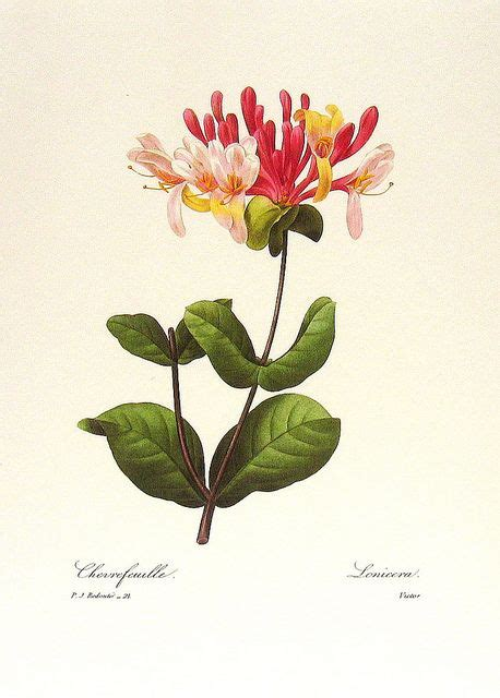 Bedroom Album Honeysuckle 1403 Best Botanical Illustration Images On