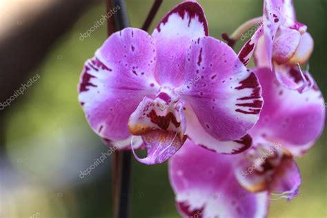 fiore di orchidea fiore di orchidea phalaenopsis e viola foto stock