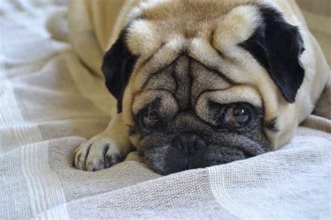 aggressive pug behavior are pugs aggressive canna pet 174