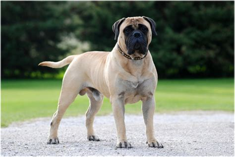 Do Mastiffs Shed by Bullmastiff Puppies Rescue Breeders Pictures