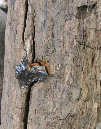 in tree sikhote alin