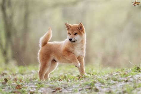 all about the shiba inu five interesting facts about the history of the shiba inu