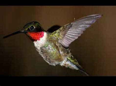 ruby throated hummingbirds in central florida youtube