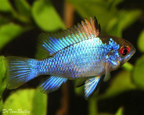 ram fish south american cichlid for sale aquariumfish net