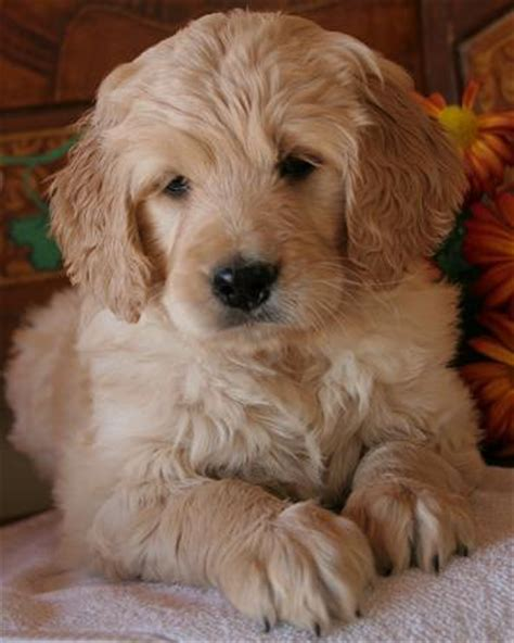 goldendoodle puppy problems not all goldendoodles are doodly history