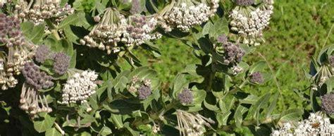 Gomphocarpus Species, Cape Milkweed, Wild Cotton Milkweed ... Asclepias Cancellata