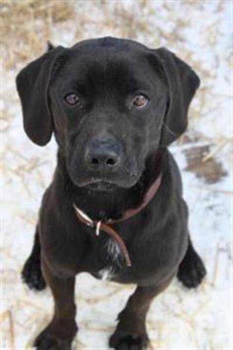 black beagle puppies 17 best ideas about beagle lab mixes on beagle mix puppies lab mix