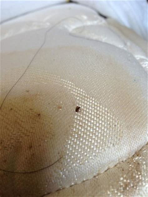 bed bugs in hair bed bug next to long nasty hair with additional stains