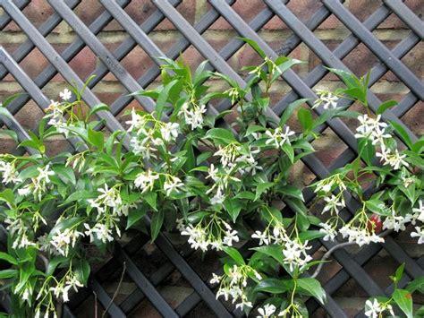 fiori di gelsomino gelsomino potatura potatura come e quanto potare il