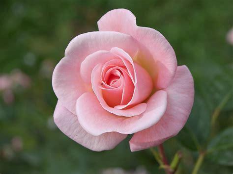 imágenes naturales bellas hermosas rosas taringa