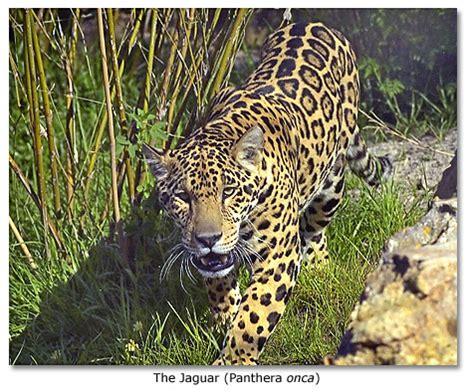 jaguars usa jaguars desertusa