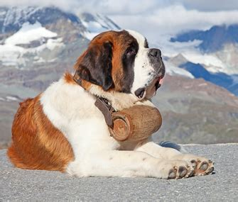 st bernard puppies rescue the original avalanche search and rescue bernard