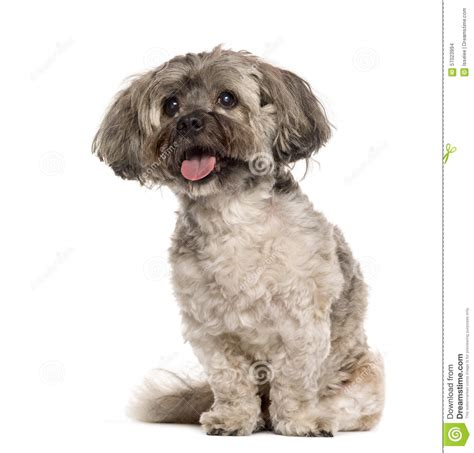 shih tzu sitting shih tzu sitting stock photo image 57023994