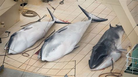 Whaling Is Still Big In Japan by Sea Shepherd Finds Japanese Whaling Ship