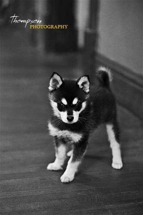 Alaskan Klee Shed by 1000 Ideas About Miniature Husky On Alaskan Klee Mini Huskies And Husky