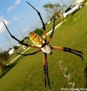 Golden Garden Spider Bite Yellow And Black Spider Bite Www Pixshark Images
