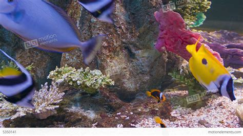 colorful fish colorful tropical fish in aquarium stock footage