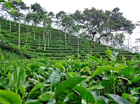 Teh Hijau Dan Merknya hijau dan romantis jadi satu di kebun teh nglinggo kulon