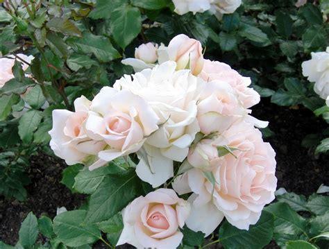 wallpaper bunga mawar yang indah galeri gambar bunga mawar yang cantik dan indah