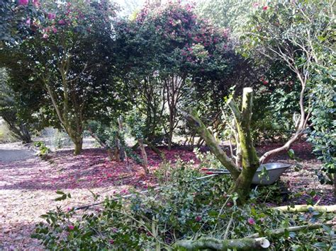 camellias at trewithen gardens trewithen