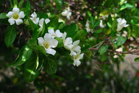 shrub with small white flowers in flowering shrubs with white flowers pictures to pin on