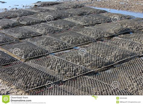 oyster bed oyster beds stock photo image of carolina local mollusc