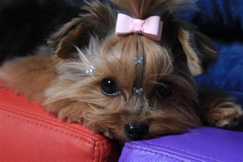 puppy bows yorkie yorkie bows must dogs