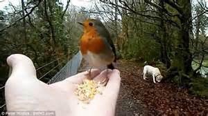 a bird in the hand friendly robin helps itself to