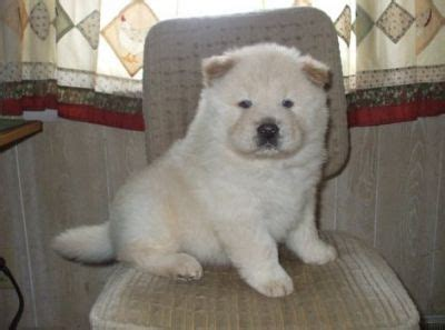 teacup chow chow puppies for sale beautiful chow chow puppies for sale