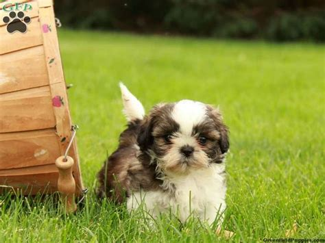 havashu puppies 17 best images about loving designer puppies for sale on morkie puppies
