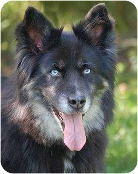 sheltie puppies mn jadee adopted mora mn husky sheltie shetland sheepdog mix
