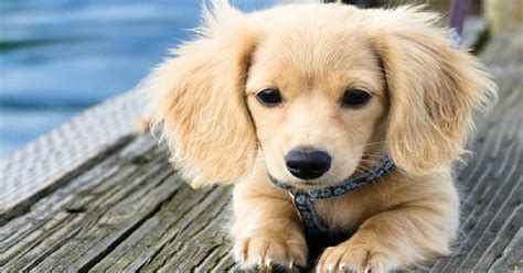 golden retriever dachsund dachshund and boston terrier mix breeds picture