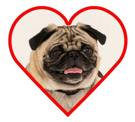 pug hearts pug small breeds breeds picture