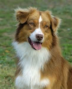 aussie color best 25 tri australian shepherd ideas on