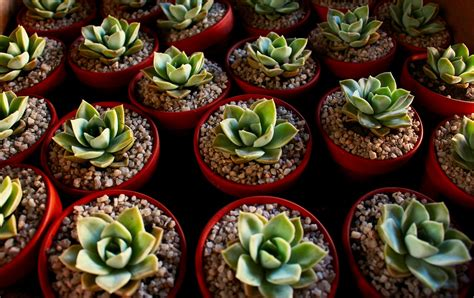 How To Propagate Succulents From Cuttings And Offsets - how to propagate succulents farm and dairy