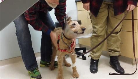 dog started peeing in the house again watch duffy the blind irish terrier see his family again