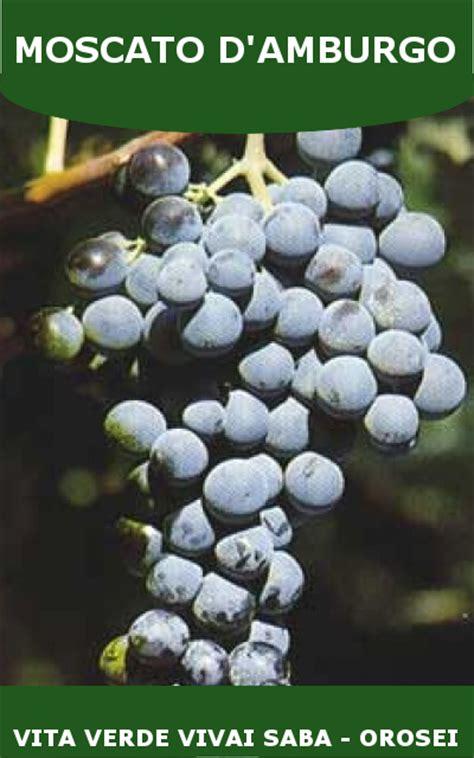 viti in vaso uva da tavola viti innestate in vaso 15