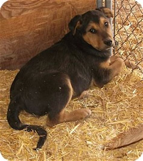 rottweiler rescue new mexico adopted puppy 36 pie town nm rottweiler golden retriever mix