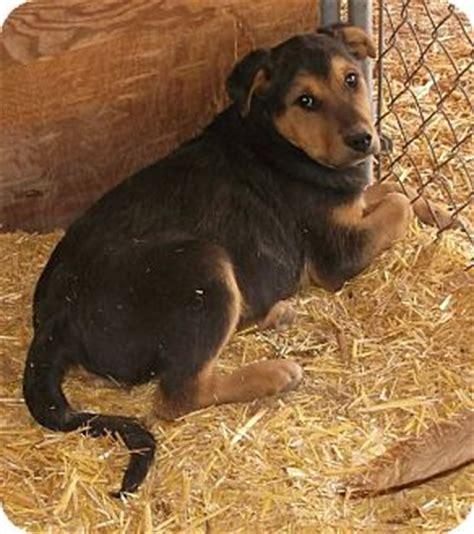golden retriever new mexico adopted puppy 36 pie town nm rottweiler golden retriever mix