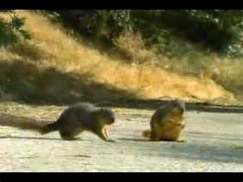 squirrel commercial geico fgklbruga geico car insurance squirrel commercial youtube