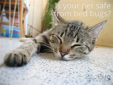 cats and bed bugs bed bugs and cats what to do and why