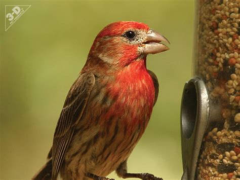 house finch food preferences house finch 3d 174 pet products3d 174 pet products
