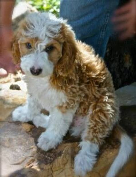 goldendoodle puppy colors goldendoodle dogs my my