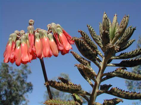 mother of millions bryophyllum spp north west weeds