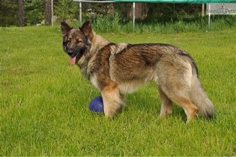 shiloh shepherd puppies for sale shiloh shepherd for sale for 1 550 near columbia abc41774 2421