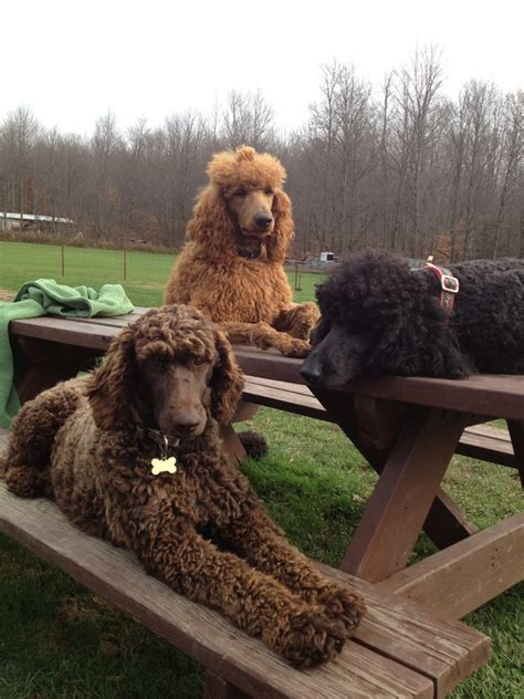 standard poodle puppies california standard poodle northern california photo