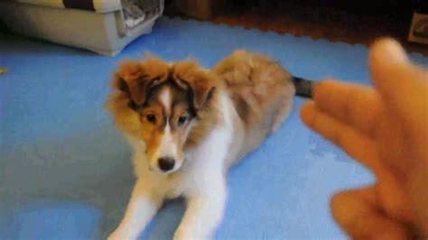why are you straightening your 5 month olds hair yumi s tricks 4 month old sheltie puppy youtube