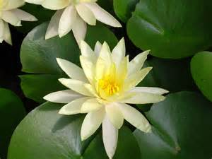 White Lotus Flower Flower Picture Lotus Flower 8