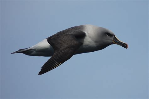 filegrey headed albatross jpg  work  gods